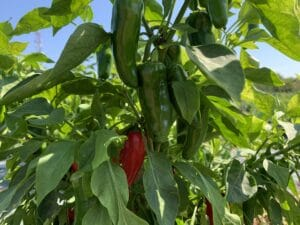 Read more about the article Tudod, hogy mi a különbség a zöld és a piros jalapeno paprika, valamint a chipotle között?