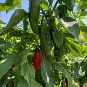 Tudod, hogy mi a különbség a zöld és a piros jalapeno paprika, valamint a chipotle között?